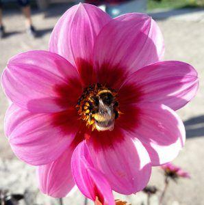 En bi i sin fulde lyst til livet